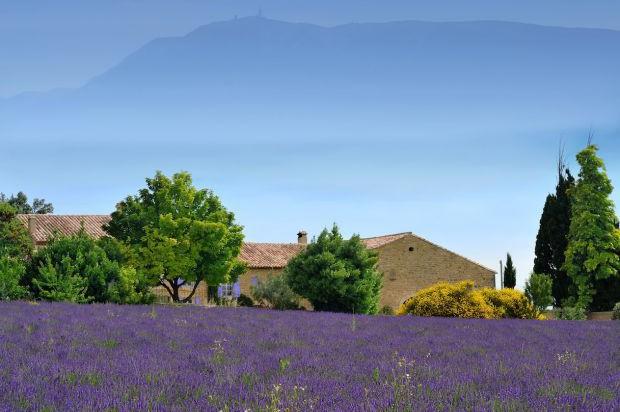 Duftendes Lavendelfeld Auf Der Wanderreise Provence