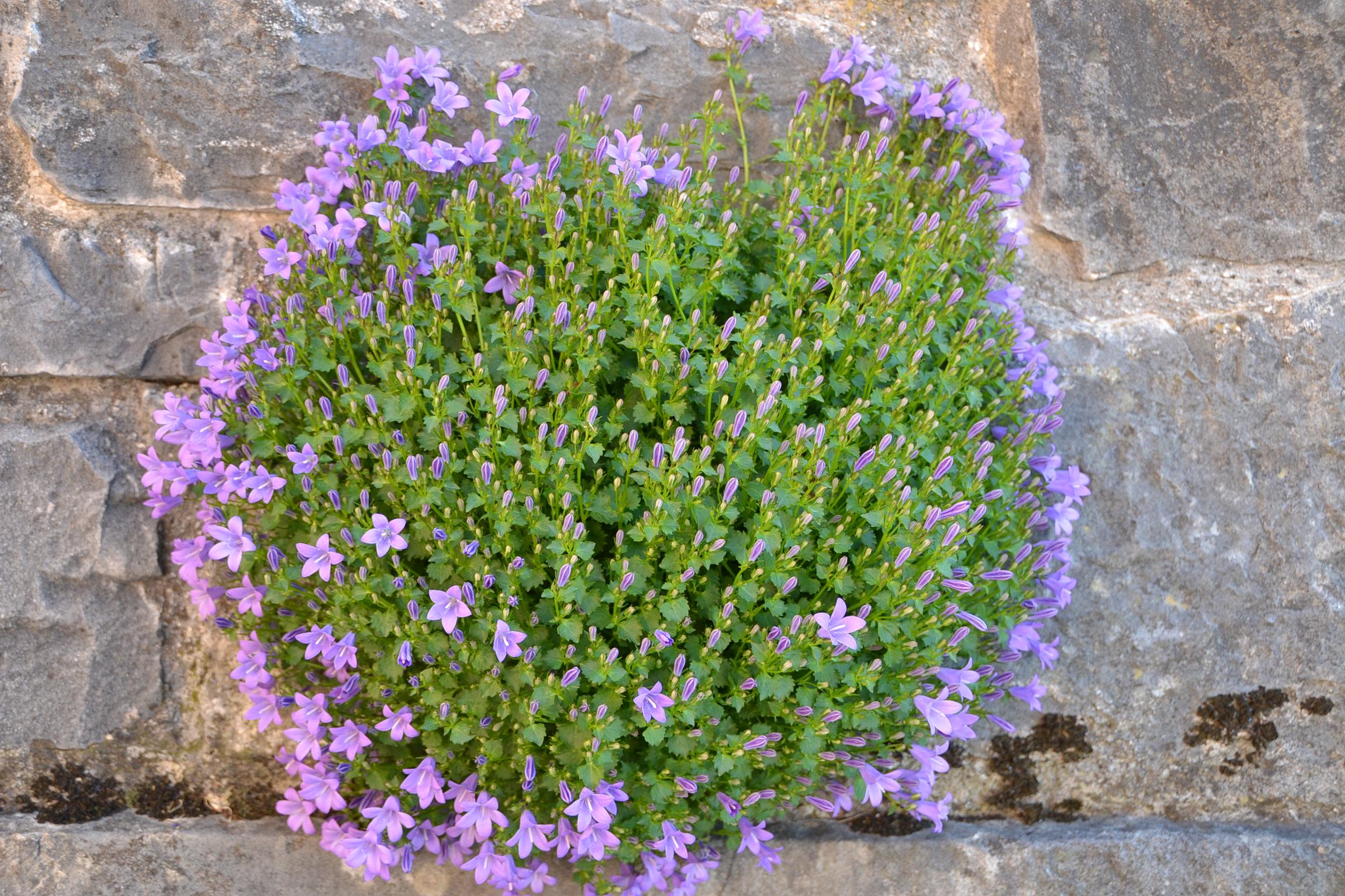 Mauerblümchen Am Castelmonte