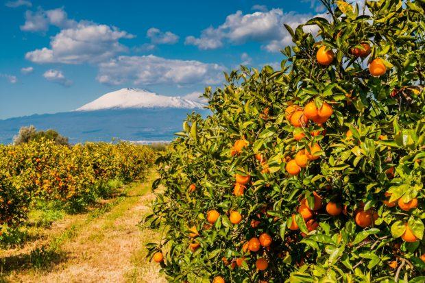 Orangen Auf Dem Weg Zum Ätna Bei Der Wanderreise Sizilien