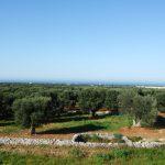 geführte Wanderreise Apulien Olivenhain