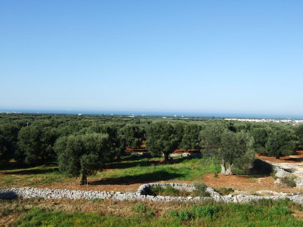 Olivenhain In Süditalien