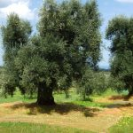geführte Wanderreise Apulien Olivenernte