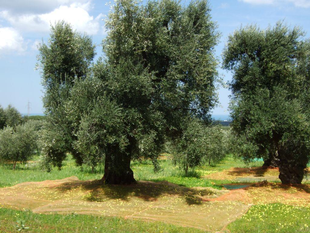 Olivenernte In Apulien