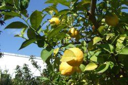Zitronen in Apulien