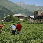 Wanderreise Georgien Bauern auf dem Kartoffelfeld in Ushguli