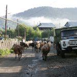 Dorfstraße mit Kühen in Barkuriani im kleinen Kaukasus