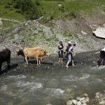 Wanderreise Georgien Kühe und Wanderer müssen durch den Fluss