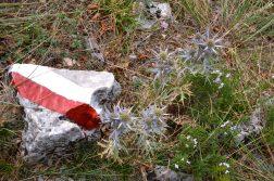 Disteln im Triestiner Karst