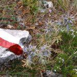 geführte Wanderreise Triest Disteln im Triestiner Karst