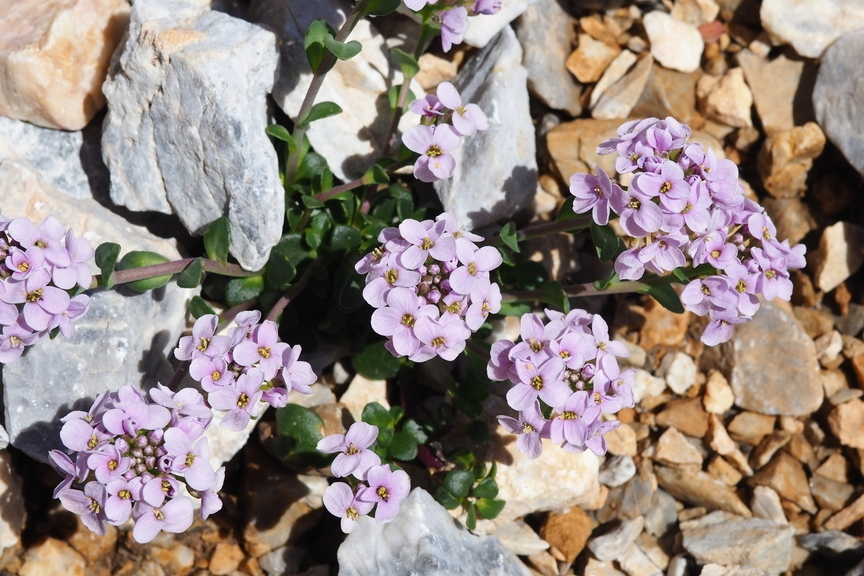 Rosa Blüten Zwischen Steinen