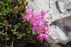 Blumenpracht in den Dolomiten