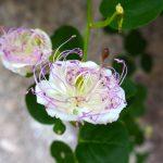 Kapernblüten am Gardasee