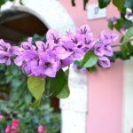 Blütenpracht in Limone am Westufer des Lago di Garda
