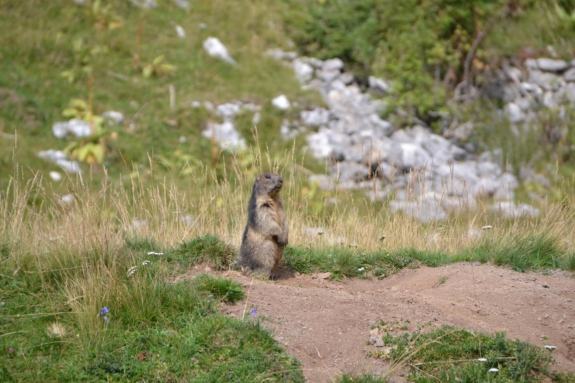 Murmeltier In Den Bergen Oberhalb Vom Gardasee