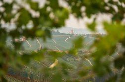 Blick auf die Weinterrassen durch dichtes Laub