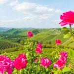 rote Rosen vor den Weinbergen des Piemont