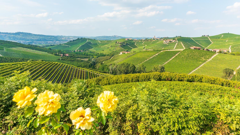 Gelbe Rosen Vor Den Weinbergen Des Piemont