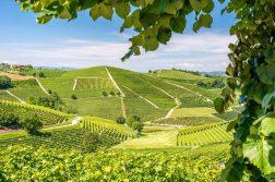 Blick auf die grünen Hügel von Barolo