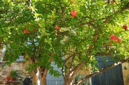 Granatapfelbaum in Cotignac