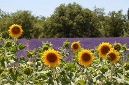 Sonnenblumen vor Lavendelfeld in der Provence
