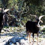 geführte Wanderreise Provence wilde Ziegen in der Provence