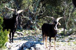 wilde Ziegen in der Provence