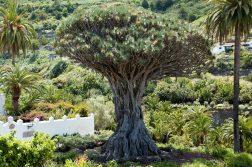 geführte Wanderreise Kanaren Drachenbaum auf Teneriffa