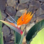 Paradiesvogelblume auf Wanderreise Teneriffa