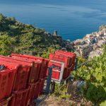 Abtransport von Kisten mit Weintrauben