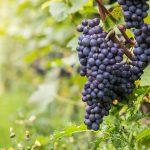 geführte Wanderreise Ahrtal Weintrauben