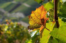 geführte Wanderreise Ahrtal Weinbätter