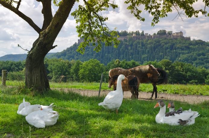 Gänse und Pferde auf einer Koppel bei Königstein,hinten Festung