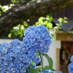 Wanderreise Böhmische Schweiz blaue Hortensie