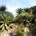 Wanderreise Ischia Mauerpflanzen