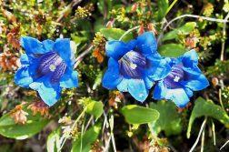 geführte Wanderreise italienische Alpen blauer Enzian