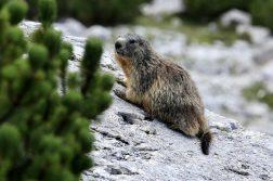 geführte Wanderreise italienische Alpen Murmeltier
