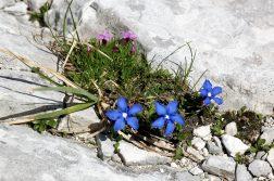 geführte Wanderreise italienische Alpen blaue und violette Bergblumen