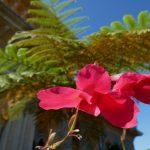 geführte Wanderreise Portugal Blume im Palácio de Monserrate