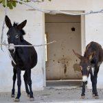 Wanderreise Nordzypern 2 wilde Esel